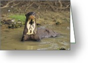 Brasiliensis Greeting Cards - A Giant Otter In A Stream Bed Greeting Card by Ed George