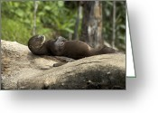 Brasiliensis Greeting Cards - A Giant River Otter Rests On A Tree Log Greeting Card by Nicole Duplaix