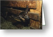 Wood Fences Greeting Cards - A Goat With Its Head Protruding Greeting Card by Nicole Duplaix