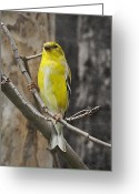 Backyard Goldfinch Digital Art Greeting Cards - A Golden Finch Greeting Card by Terry Jacumin