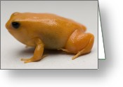 Captive Animals Greeting Cards - A Golden Mantella Mantella Aurantiaca Greeting Card by Joel Sartore