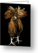 Captive Animals Greeting Cards - A Golden Polish Chicken Greeting Card by Joel Sartore
