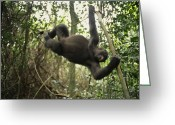 Apes Greeting Cards - A Gorilla Swinging From A Vine Greeting Card by Michael Nichols