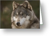 Property Released Photography Greeting Cards - A Gray Wolf Canis Lupus At The Rolling Greeting Card by Joel Sartore