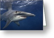 West Indies Greeting Cards - A Great Hammerhead Shark Swimming Greeting Card by Brian J. Skerry