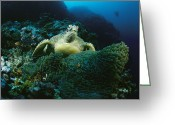 Sea Anemones Greeting Cards - A Green Sea Turtle Among Sea Anemones Greeting Card by Tim Laman