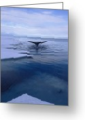 Ice Floes Greeting Cards - A Greenland Right Whale Balaena Greeting Card by Paul Nicklen