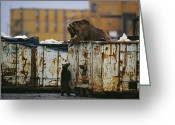 Grizzly Bears Greeting Cards - A Grizzly Bear And Her Cub Scavenge Greeting Card by Joel Sartore