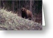 Grizzly Bears Greeting Cards - A Grizzly Bear Approaching The Crest Greeting Card by Bobby Model