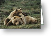 Grizzly Bears Greeting Cards - A Grizzly Bear Cub Stretches Greeting Card by Michael S. Quinton
