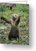 Grizzly Bears Greeting Cards - A Grizzly Bear Cub Ursus Arctos Greeting Card by Tom Murphy
