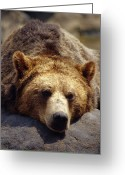 Head Of State Greeting Cards - A Grizzly Bear Rests His Huge Head Greeting Card by Jason Edwards