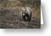 Grasslands Greeting Cards - A Grizzly Walks Toward The Camera Greeting Card by Michael S. Quinton