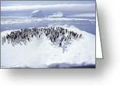 Ice Floes Greeting Cards - A Group Of Adelie Penguins, Pygoscelis Greeting Card by Bill Curtsinger