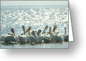 Sanibel Island Greeting Cards - A Group Of American White Pelicans Greeting Card by Klaus Nigge