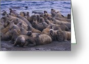 Walruses Greeting Cards - A Group Of Atlantic Walruses Odobenus Greeting Card by Paul Nicklen