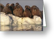 Walruses Greeting Cards - A Group Of Atlantic Walruses On Pack Greeting Card by Paul Nicklen