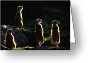 Rock Groups Greeting Cards - A Group Of Captive Meerkats Suricata Greeting Card by Tim Laman