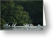 Great Egrets Greeting Cards - A Group Of Egrets And Herons Wade Greeting Card by Klaus Nigge