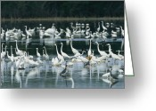 Great Egrets Greeting Cards - A Group Of Egrets, Herons,  Ibises Greeting Card by Klaus Nigge