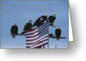 National Flag Greeting Cards - A Group Of Northern American Bald Greeting Card by Norbert Rosing