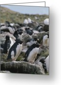 Rock Groups Greeting Cards - A Group Of Rockhopper Penguins Greeting Card by Gordon Wiltsie