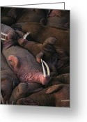 Walruses Greeting Cards - A Group Of Sleeping Male Walruses Greeting Card by Joel Sartore
