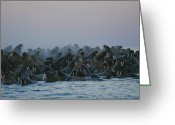 Walruses Greeting Cards - A Group Of Walruses, Odobenus Rosmarus Greeting Card by Norbert Rosing