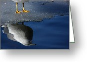 Seagull Photo Greeting Cards - A Gull Reflects Greeting Card by Karol  Livote