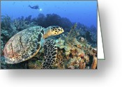 Hawksbill Turtle Greeting Cards - A Hawksbill Turtle Swims Greeting Card by Karen Doody
