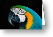 Ara Ararauna Greeting Cards - A Head-only View Of A Captive Blue Greeting Card by Tim Laman