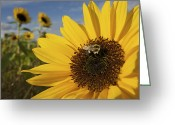 Honey Bee Greeting Cards - A Honey Bee Visiting A Sunflower Greeting Card by Tim Laman