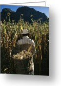 Madre Greeting Cards - A Huichol Farmer Harvests Ears Of Corn Greeting Card by Maria Stenzel
