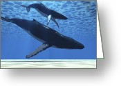 Sea Life Digital Art Greeting Cards - A Humpback Mother Whale Escorts Greeting Card by Corey Ford