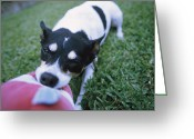 Stuffed Animals Greeting Cards - A Jack Russell Terrier Plays Greeting Card by Heather Perry