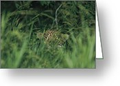 Head Of State Greeting Cards - A Jaguar Peeks Out From The Foliage Greeting Card by Steve Winter