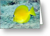 Tropical Climate Greeting Cards - A Juvenile Blue Tang Searching Greeting Card by Terry Moore