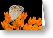 Butterflies And Blue Flowers Greeting Cards - A Karner Blue Butterfly, Lycaeides Greeting Card by Joel Sartore