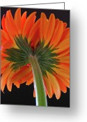 Flower Photos Greeting Cards - A Kiss is just a Kiss  Greeting Card by Juergen Roth