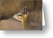 Henry Doorly Zoo Greeting Cards - A Klipspringer At  The Henry Doorly Zoo Greeting Card by Joel Sartore