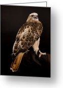 Red-tailed Hawk Greeting Cards - A Kriders, Or Light Phased, Red-tailed Greeting Card by Joel Sartore