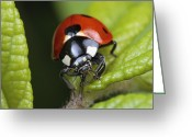 Ellicott Greeting Cards - A Ladybird Beetle, Coccinellidae, Feeds Greeting Card by George Grall