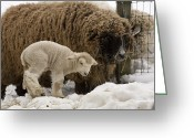 Sheep Greeting Cards - A Lamb And Sheep In The Snow Greeting Card by Tim Laman