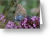 Butterflies And Blue Flowers Greeting Cards - A Large Blue, Maculinea Arion Greeting Card by Darlyne A. Murawski