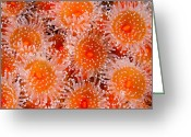 Sea Anemones Greeting Cards - A Large Cluster Of Strawberry Sea Greeting Card by Paul Nicklen