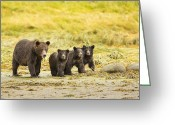 Grizzly Bears Greeting Cards - A Large Family Greeting Card by Tim Grams