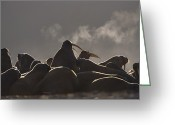 Walruses Greeting Cards - A Large Group Of Atlantic Walruses Greeting Card by Paul Nicklen
