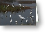 Great Egrets Greeting Cards - A Large Group Of Egrets, Snowy Greeting Card by George Grall