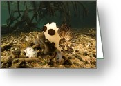 Nudibranch Greeting Cards - A Large Nudibranch Feeds On A Sponge Greeting Card by Tim Laman