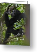 Resting Animals Greeting Cards - A Large Teenage Male Chimpanzee Perches Greeting Card by Frans Lanting